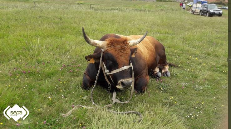 Hiszpania. Akcja ratunkowa na plaży.  Śmigłowiec zabrał... ważącego tonę byka